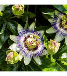 Mučenka modrá - Passiflora caerulea - semiačka - 5 ks