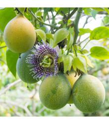 Mučenka pruhovaná sladká - Passiflora ligularis - semiačka - 4 ks