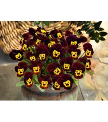 Fialka rohatá Admire Ruby Gold - Viola cornuta - predaj semien - 20 ks