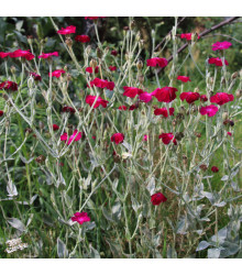 Kukučka vencová - Lychnis coronaria - semienka kukučky - 50 ks