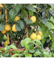 Semená citrónovníka - Citrónovník pravý - Citrus limon - predaj semien - 5 ks