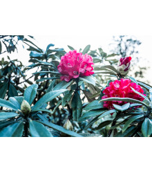Rododendron - drieň - Rhododendron arboreum - semiačka - 50 ks